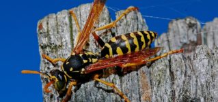 El insecto que más odio: la avispa
