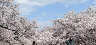 """シャドーイング動画解説:""""Los cerezos""""「桜」~冠詞について"""