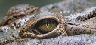 Los ojos del cocodrilo