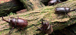 Los escarabajos en Japón