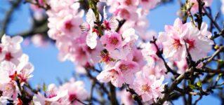 スペインの春を到来を告げる花「アーモンド」の名所