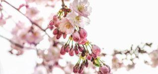 Los cerezos están floreciendo