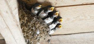 Un nido de golondrinas