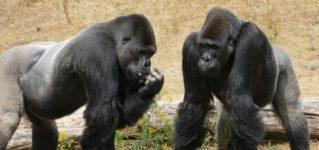 ¿Venimos del mono?