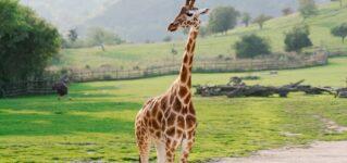 Una jirafa perdida