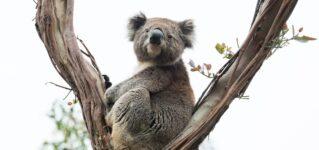 Koalas cerca de mi casa