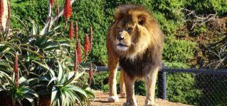 Un león en el parque