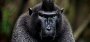 Un mono despeinado