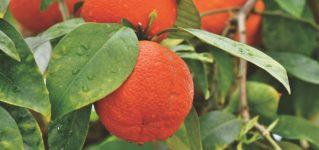 El naranjo da naranjas