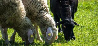 """""""Ser la oveja negra""""ってどういう意味?「黒い羊である」って?"""