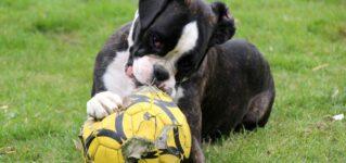 Los perros no pueden jugar con pelotas