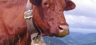 ¿Qué llevan las vacas en el cuello?